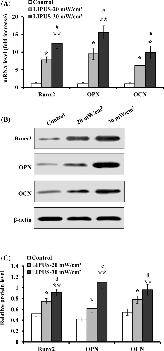 Expression levels of Runx2, OPN, and OCN during ASCs osteogenic differentiation hASCs were treated with LIPUS at 20 and 30 mW cm −2 for 30 min daily, and the expression of Runx2, OPN, and OCN was analyzed on day 14. ( A ) The mRNA levels of Runx2, OPN and OCN were determined by real-time PCR, and normalized to GAPDH, and presented as fold increase relative to the controls (value set at 1). ( B ) Representative images of Western blotting. ( C ) The protein levels of Runx2, OPN, and OCN were quantified by normalization to β-actin. Data are presented as mean ± SD ( n =3); * P