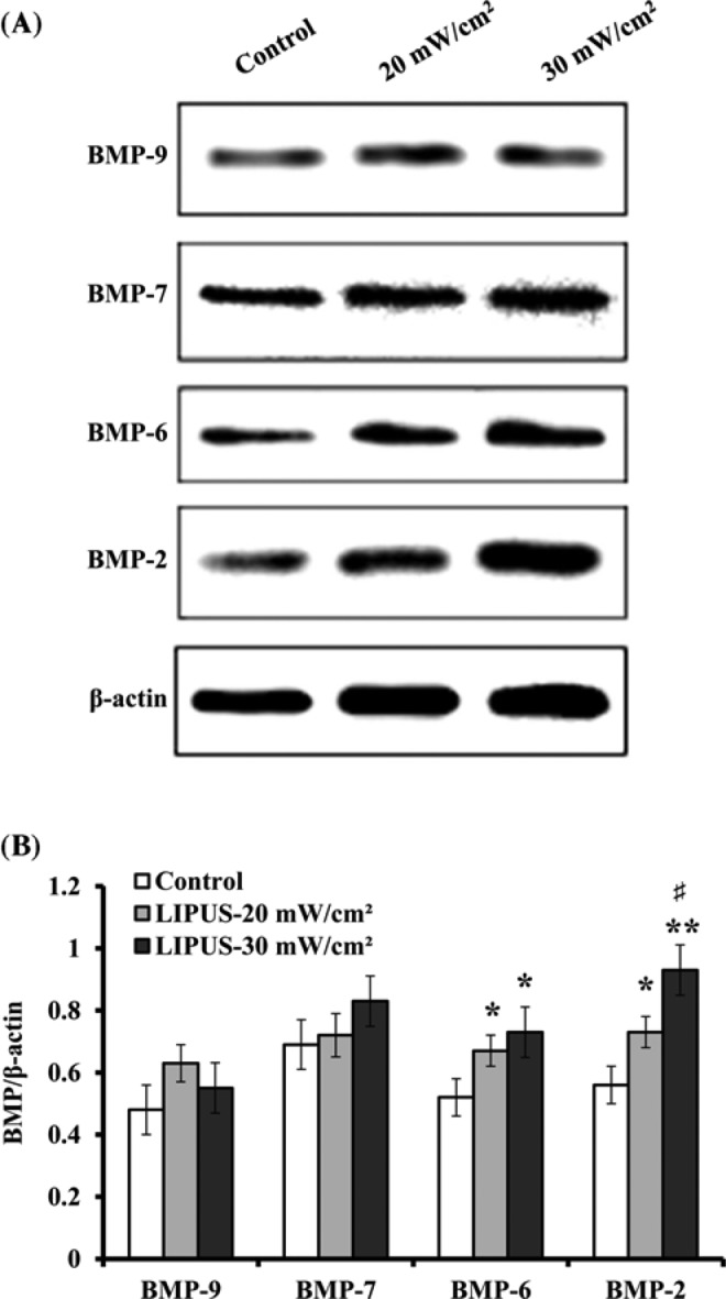 Effect of LIPUS stimulation on BMPs hASCs were treated by LIPUS at 20 and 30 mW cm −2 for 30 min daily, and the protein levels of BMP-2, BMP-6, BMP-7, and BMP-9 were detected using Western blot analysis. ( A ) Representative Western blot bands that displayed the protein expression of BMP-2, BMP-6, BMP-7, and BMP-9. ( B ) The protein levels of BMP-2, BMP-6, BMP-7, and BMP-9 relative to β-actin used as a loading control. Data are presented as mean ± SD ( n =3); * P