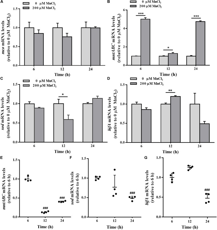 The mco , mntABC , sod , and bifA mRNA levels in biofilm cells as well as during biofilm development with exogenous Mn 2+ . mco (A) , mntABC (B) , sod (C) , and bifA (D) mRNA levels in colonized cells incubated with 200 μM Mn 2+ for 2 h after 6, 12, and 24 h cultivation for adhesion, were detected by qRT-PCR, respectively. The cellular mRNA levels of mntABC (E) , sod (F) , and bifA (G) at different stages of biofilm formation were detected by qRT-PCR, respectively. Relative gene expression levels of mco, mntABC , sod and bifA were normalized to 16s rRNA ( n = 4), respectively. Data were expressed as mean ± SEM. Significance, ∗ P
