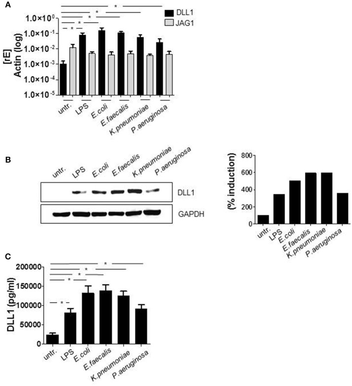 TLR signaling induces DLL1 in primary human monocytes. CD14 + monocytes, isolated from blood of healthy donors were stimulated with 100 ng/ml LPS or infected with Escherichia (E.) coli, Enterococcus (E.) faecalis, Klesiella (K.) pneumoniae, Pseudomonas (P.) aeruginosa in a concentration of 10 6 bacteria per 10 6 monocytes/ml. After 2 h bacteria were killed by gentamicin. The next day cells and supernatant were analyzed. (A) RNA was isolated and cDNA produced. Induction of gene expression was analyzed by qRT PCR using sequence-specific primer for DLL1 and JAG1 (gene encoding Jagged-1) and SYBR Green Master mix. Actin was detected as endogenous control for normalization. (B) For western blot analysis equal amounts of protein lysates were blotted and probed with antibodies against DLL1 or GAPDH (loading control). Shown is one representative blot and the associated quantification. Quantification was performed using the Image Analysis System Bioprofil (Fröbel, Germany). The intensity of signals were calculated against loading control and presented as percent of untreated samples. (C) Supernatants were used for ELISA analysis to quantify shedded DLL1 extracellular domain. (A,C) depict the mean and standard deviation of at least three donors. Statistics: * p ≤ 0.05 by Mann–Whitney U -test.