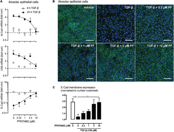 (A) Effect of PF670462 on EMT associated gene induction in A549 alveolar epithelial cells 4 and 24 h after TGF-β (100 pM) stimulation ( n = 4). (B) Immunofluorescence of membrane E -cadherin expression in A549 alveolar epithelial cells. Cells were treated with TGF-β (100 pM) for 48 h with PF670462 added 30 min prior to TGF-β. Nuclei were stained with DAPI. Quantification of n = 4 experiments is shown in (C) with > 50 fields analyzed per well. Data are presented as mean ± SEM from 4 independent experiments on A549 epithelial cells. ∗ P