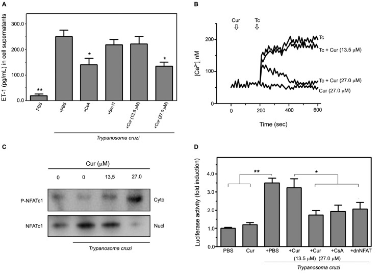 curcumin (Cur) impairs endothelin-1 (ET-1) production in Trypanosoma cruzi -infected human microvascular endothelial cells <t>(HMEC-1)</t> through downregulation of Ca 2+ -sensitive NFAT signalling. The involvement of Ca 2+ -dependent mechanisms in T. cruzi -promoted ET-1 release from infected HMEC-1 was verified. (A) Soluble ET-1 levels in the media of uninfected (PBS) or infected ( T. cruzi ) cells, cultured in the presence or in the absence of Cur at different concentrations (13.5 and 27.0 μM), were measured by enzyme-linked immunosorbent assay (ELISA). In some experiments, the cells were pre-treated for 1 h with chemical inhibitors of NFAT or c-Src kinase-mediated pathways (5 μM CsA or 20 μM Src-I1, respectively), and their effect on ET-1 secretion was further determined. Data are the means ± standard deviations of three independent experiments, each performed in triplicate. *p