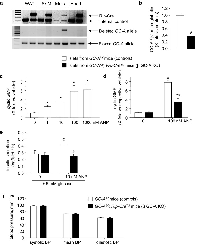 Deletion of GC-A in β-cells from GC - A fl/fl ; RipCre tg (β GC-A KO) mice. a PCR analysis. Genomic DNA from different tissues was assayed for the appearance of the ~ 700-bp amplicon which results from complete recombination of the floxed GC-A gene segment. Genomic DNA was from white adipose tissue (WAT), skeletal muscle (Sk M), isolated pancreatic islets and hearts. b Quantitative RT-PCR analysis. GC-A mRNA expression levels in pancreatic islets from control and β GC-A KO mice. Values are the ratio of GC-A mRNA level relative to β2 microglobulin, expressed as x-fold vs control islets (20 samples per genotype). c Cyclic GMP determinations. Concentration-dependent effects of ANP on intracellular cGMP contents of pancreatic islets prepared and cultured from control mice (15 min incubation in the presence of the phosphodiesterase inhibitor IBMX; n = 4 per condition). d Comparison of the cGMP responses of β GC-A KO and control islets to 100 nM ANP (15 min incubation in the presence of IBMX; n = 4 per genotype and condition). e Insulin release. Effects of ANP on glucose-dependent insulin secretion by pancreatic islets prepared from β GC-A KO and control littermates (1 h incubation; n = 4). f Systolic, mean and diastolic arterial blood pressure levels of β GC-A KO and control littermates (n = 16 per genotype). *P