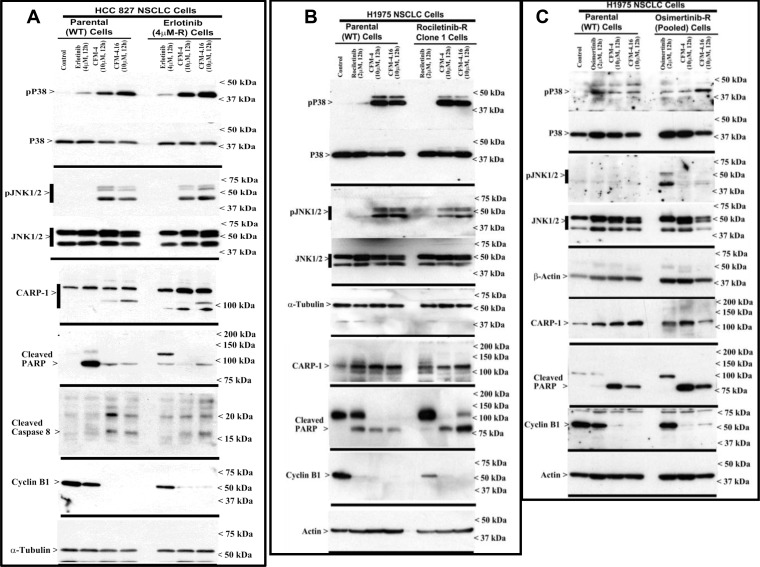 CFM-4.16 stimulates apoptosis in parental and TKI-resistant NSCLC cells in part by upregulating pro-apoptotic CARP-1 and activating <t>SAPKs</t> ( A – C ) Indicated parental and TKI-resistant NSCLC cells were either untreated (Control), treated with TKI, CFM-4, or CFM-4.16 for noted dose and time. Cell lysates were analyzed by Western blotting (WB) as in Methods for levels of CARP-1, cyclin B1, cleaved PARP and caspase-8, and activation (phosphorylation) of pro-apoptotic p38 and <t>JNK1/2</t> SAPKs. The western blot membranes were subsequently probed with anti-actin or α-tubulin antibodies to assess equal loading. The presence of respective protein is indicated by an arrowhead on the left side of each blot. Approximate location of various molecular weight markers is indicated on the right side of each blot. kDa, kilodalton.