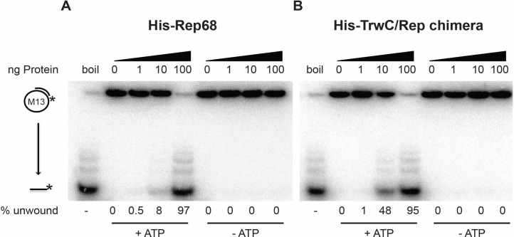 """DNA helicase activity of Rep68 and TrwC/Rep. Increasing amounts of Rep68 and TrwC/Rep chimeric protein (0, 1, 10, 100 ng of protein) were assayed in the presence or absence of ATP. """"boil"""" indicates heat-denatured substrate, used as a positive control. Products of the reaction were resolved on 12% native polyacrylamide gels. The diagram to the left of the gel shows the position of the substrate (partial duplex M13 DNA) and unwound labelled ssDNA. The percent of unwound substrate was quantified using the Image Quant TL software. The helicase efficiency percentage is a representative example obtained from 3 independent experiments (n = 3)."""