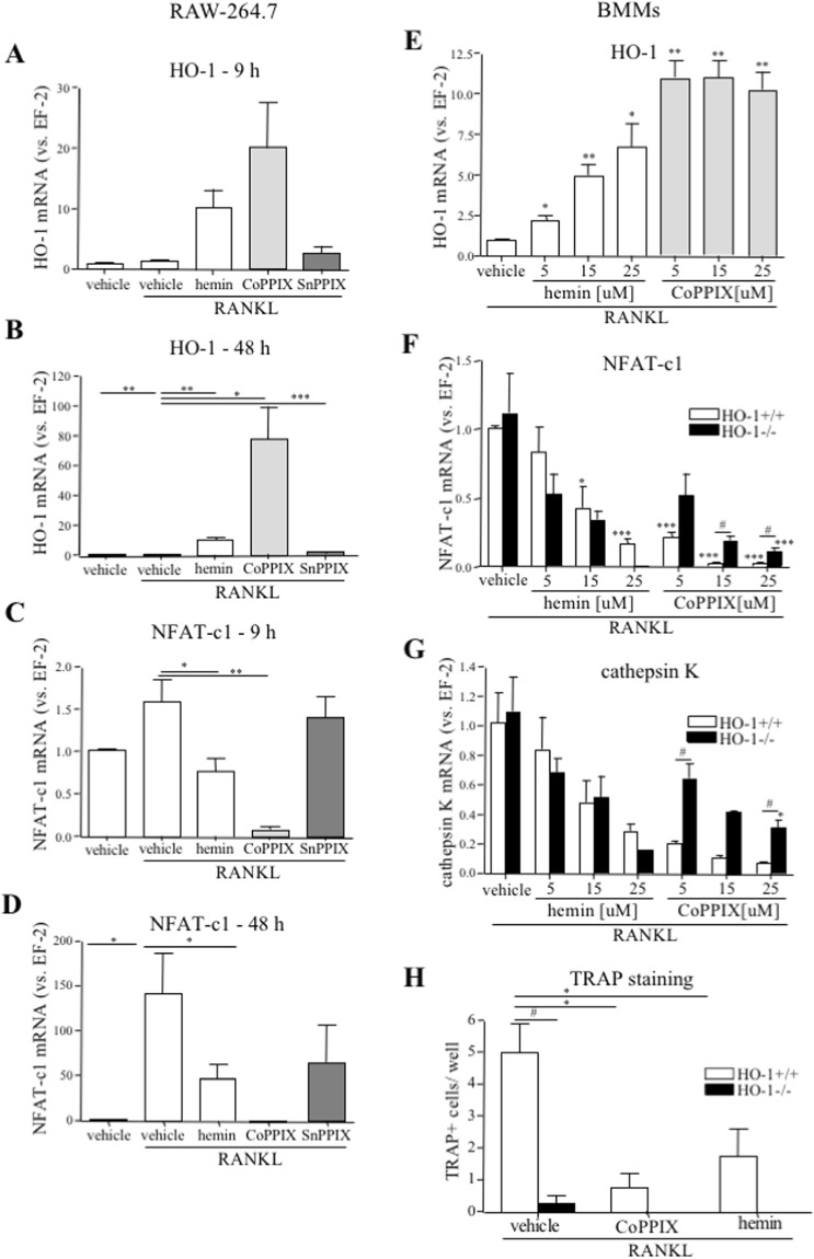 CoPPIX and hemin effect on osteoclasts-specific markers. ( A – D ) RAW264.7 were cultured with 50 ng/ml RANKL and 25 μM CoPPIX/hemin/SnPPIX or NaOH as a vehicle for ( A , C ) 9 h or ( B , D ) 48 h. ( A , B ) HO-1 and ( C , D ) NFAT-c1 relative expression (vs. EF-2). Quantitative PCR (n = 5–6). ( E – H ) Bone marrow was isolated from HO-1 −/− and HO-1 +/+ mice. ( E , F , G ) nBMCs-derived BMMs were replated and cultured for 3 days with 50 ng/ml RANKL and 30 ng/ml M-CSF in the presence of 5, 15 and 25 μM CoPPIX/hemin or DMSO as a vehicle or ( H ) total BMCs-derived BMMs were stimulated with 100 ng/ml RANKL and 100 ng/ml M-CSF for 3 days in the presence of 25 μM CoPPIX/hemin or DMSO as a vehicle. ( E ) HO-1 (in HO-1 +/+ cells), ( F) NFAT-C1 and ( G ) cathepsin K relative expression (vs. EF-2). Quantitative PCR (n E,F,G = 4). ( H ) Quantitative analysis of TRAP + cells ( > 2 nuclei). TRAP staining (n = 4). Each bar represents the mean ± SEM. *p