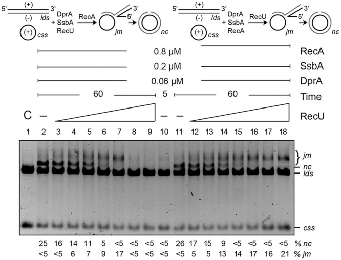 DprA antagonizes the inhibitory effect of RecU on DNA strand exchange. Top left, scheme of reactions performed on the left part of the gel (lanes 2–9). The css (+ strand in black) and the homologous lds (– in gray) substrates were preincubated with SsbA, DprA, RecU, and ATP (5 min, 37°C), after which RecA was added. Top right, scheme of the reactions performed on the right part of the gel (lanes 11–18). Here, DNA substrates were preincubated with SsbA, DprA, RecA, and ATP (5 min, 37°C), followed by RecU. The predicted intermediates ( jm ) and final products ( nc ) are illustrated. Homologous <t>ssDNA</t> (10 μM) and <t>dsDNA</t> (20 μM) were preincubated with SsbA, DprA and with variable concentrations of RecU (lanes 3–9; doubling from 6.2 to 400 nM) or a fixed RecA concentration (lanes 11–18) in buffer B containing 5 mM ATP (5 min, 37°C). A fixed RecA concentration (lanes 2–9) or variable amounts of RecU (lanes 12–18) were then added and the reaction was incubated (60 min, 37°C). Lane 1, DNA substrate controls (C); lanes 2 and 11, RecU was omitted, and in lane 10, the reaction was terminated after preincubation (5 min) without RecU. Reactions were resolved after deproteinization by 0.8% agarose gel electrophoresis. Band positions for css, lds, cds, jm , and nc are indicated. Bottom, recombination intermediates ( jm ) and products ( nc ) are expressed as the percentage in respect to the total substrate added. Results are shown as the mean ± 5% SEM of ≥3 independent experiments.