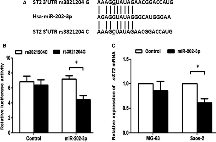 The rs3821204 G/C influences the transcriptional activity and ST 2 mRNA expression by altering the binding site of miR‐202‐3p. A, In silico prediction of miR‐203‐3p binding site to ST 2 3′ UTR containing rs3821204 G or C allele. B, The rs3821204 G or C plasmid was cotransfected with miR‐202‐3p mimics or negative control into HEK 293 cells. Relative luciferase activity was measured using the dual luciferase reporter assay. C, mi RNA ‐202‐3p mimics or negative control was transfected into Saos‐2 (rs3821204 GG ) and MG ‐63 (rs3821204 CC ) cells. Relative expression of ST 2 mRNA was analysed using real‐time PCR . Data were expressed by mean ± standard error (* P