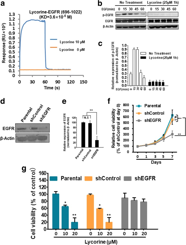 Lycorine binds to EGFR, inhibits EGF-activated EGFR phosphorylation and exhibits an EGFR-dependent manner to suppress GBM cells proliferation. a Biacore assay to reveal the SPR analysis of the binding between Lycorine and EGFR (696–1022) domain. The purified EGFR (696–1022) protein was immobilized on an activated CM5 sensor chip. Lycorine was then flowed across the chip. b U251 cells were pretreated with or without 25 μM Lycorine for 1 h then followed by 100 ng/mL EGF treatment for 0, 15, 30, 45 and 60 min (Lycorine was maintained during the EGF-treated time course), and EGF-dependent EGFR phosphorylation was measured by western blotting. c Statistical result of Fig. 5b. d After successful construction of stable U251 shEGFR cells, the knockdown efficiency of EGFR protein was detected by Western blotting in Parental (normal U251 cells), shControl and shEGFR stably constructed U251 cells, respectively. e Statistical result of Fig. 5d. f Parental (normal U251 cells), shControl and shEGFR stably constructed U251 cells were seeded in 96 well plates for indicated days and cell viability was assessed by SRB assay. g Statistic result of cell proliferation when EGFR was interfered by shRNA. Parental (normal U251 cells), shControl and shEGFR stably constructed U251 cells with shRNA were treated with indicated concentrations of Lycorine (0 μM, 10 μM and 20 μM) for 48 h and cell viability was detected by SRB assay. All data are represented as mean ± S.D. from triplicate wells. *, p