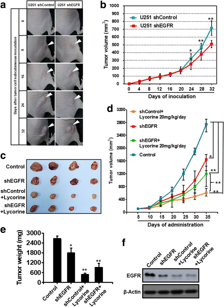 Lycorine's inhibition on GBM growth is dependent on EGFR in vivo . a Photos of tumor-bearing nude mice and their xenografts at indicated days of U251 shControl and shEGFR after inoculation. White triangle indicates the tumors that grow subcutaneously in mice right backs. b The growth curve of U251 shControl and shEGFR tumor volume after their inoculation from day 0 to day 32. c Representative images of tumor tissue in control, shEGFR, shControl+Lycorine 20 mg/kg/day and shEGFR+Lycorine 20 mg/kg/day groups. d The tumor volume of 4 groups was shown through growth curve ( n = 4, **, P