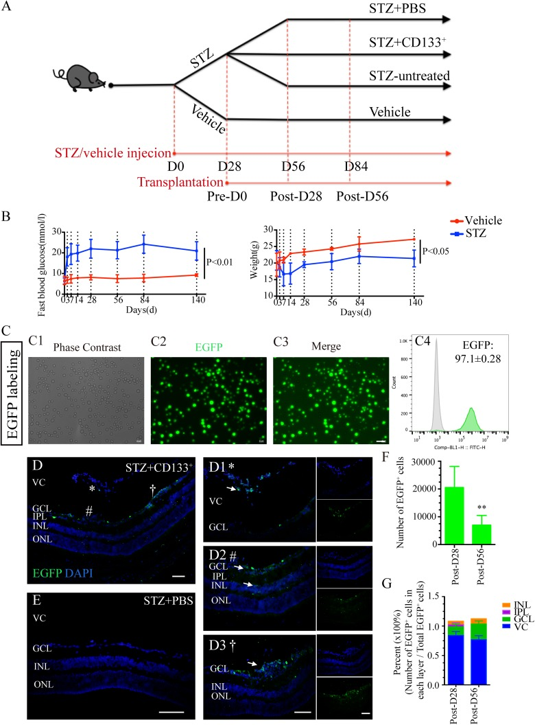 Transplanted CD133 + cells survive and migrate in STZ-induced diabetic retina with early DR. (A) Chronological diagram of design for animal grouping: 8-week-old C57BL/6 adult male mice were injected i.p. with either 150 mg/kg STZ (STZ group) or citrate buffer (vehicle group). Eyes of STZ mice were further assigned into STZ+133 + group, STZ+PBS group, and STZ-untreated group. The day injected was regarded as D0. The day of D28 before transplantation was regarded as Pre-D0. The day on the 28th and 56th day after transplantation were regarded as Post-D28 and Post-D56, respectively. Animal experiments were performed on D28 (Pre-D0), D56 (Post-D28) and D84 (Post-D56). (B) Line graphs showing the FBG levels and weight changes within experimental time comparing STZ diabetic mice (blue line) with vehicle mice (red line) within experimental time ( n =10 mice per group for each time point). (C) Cultured P3 CD133 + cells were labeled with EGFP (green) before transplantation. Representative images showing green fluorescence labeled cells under the (C1) phase-contrast, (C2) EGFP, and (C3) merge images after incubation with EGFP-loaded lentiviruses for 5 days. (C4) Flow cytometry analysis showing the purity of EGFP + CD133 + cells (green) compared with non-labeled CD133 + cells (gray). (D, E) Representative images of survival and migration of intravitreally transplanted EGFP-labeled D133 + cells (green) from (D) STZ+CD133 + group retina compared with (E) STZ+PBS retina on the 28th (Post-D28) and 56th (Post-D56) day after transplantation ( n =4 eyes per group). (D1–D3) Zoom-in images in (B) display transplanted CD133 + (EGFP + ; green) cells mainly (D1) located in VC and (D2, D3) some of them migrated into GCL and IR. *, # and † represent the location of images taken and zoom-in in (D1), (D2) and (D3), respectively. (F) Histogram showing the number of CD133 + cells (EGFP + ; green) found on Post–D28 and Post–D56 in the retina. (G) Histogram showing the percentage of EGFP + cells f