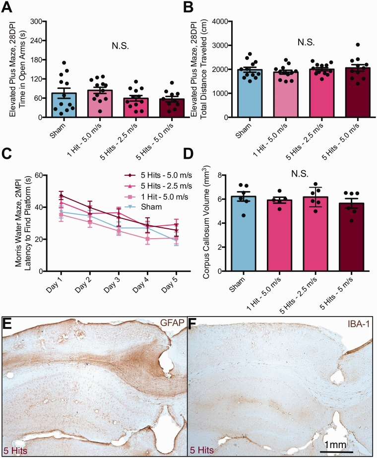 Nod- scid gamma (NSG) mice do not exhibit changes in behavioral function nor white matter atrophy following rmCHI. (a) No differences were observed at 1 MPI on time in open arm, or (b) total distance traveled in NSG mice receiving 1 or 5 hits at 5 m/s. (c) No differences were observed in the latency to find a hidden platform during the Morris water maze testing at 2 MPI. (d) Corpus callosum atrophy was not observed at 6 MPI in NSG mice receiving any level of injury. In contrast to the gliosis and microglial inflammation observed in C57Bl/6J mice, there appeared to be reduced staining for GFAP (d) and Iba1 (e) in NSG mice following rmCHI. NSG mice were treated and stained identical to those shown in Figures 8 and 9 , although not in parallel with the staining of C57Bl/6J mice. rmCHI = repeated mild closed head injury; DPI = days postinjury; MPI = months postinjury; GFAP = glial fibrillary acidic protein.