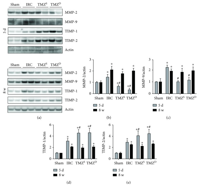 Effects of postischemia-reperfusion (I/R) treatment with TMZ on the expressions of MMPs and TIMPs. Western blot analysis (a) and densitometric analysis (b–e) of the Western blot for MMP-2, -9 and TIMP-1, -2 at 5 d, and 8 w after I/R injury, respectively. Post I/R treatment with TMZ reduced the degree of I/R-induced increases in MMP-2 and <t>MMP-9</t> levels and further increased the levels of TIMP-1 and TIMP-2 at 5 d after renal I/R injury compared to the IRC group. At 8 w after I/R injury, MMP levels in the TMZ-treated groups were similar to those of the IRC groups, which were all significantly greater than those of the sham groups. TIMP levels in the TMZ-treated groups became also comparable to those of the IRC groups, which were significantly greater than those of the sham groups. TMZ = trimetazidine. Sham = rats not underwent I/R; IRC = rats underwent ischemia (45 min)-reperfusion (5 d or 8 w); TMZ S = rats treated with TMZ (3 mg/kg) upon reperfusion; TMZ D = rats treated with TMZ (3 mg/kg) once daily for 5 d or 8 w starting upon reperfusion. ∗ P