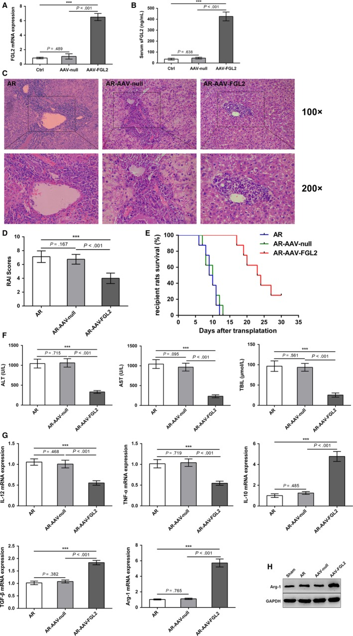 sFGL2 over‐expression in recipients alleviates AR of rat OLT (Lewis to BN). A,B,The mRNA and serum levels of sFGL2 in liver tissues from BN rats (control group), AAV‐FGL2‐treated BN rats or AAV‐null‐treated BN rats were examined using qRT‐PCR or ELISA, respectively. C, H E staining of allografts on day 7 after OLT. (D) RAI scores were performed to grade AR according to Banff schema. E, Kaplan‐Meier curve was used to perform the survival of recipients. F, Serum levels of ALT, AST, and TBIL on day 7 after OLT. G, The mRNA levels of IL‐12, TNF‐α, IL‐10, TGF‐β and Arg‐1 in KCs isolated from allografts on day 7 after OLT were detected using qRT‐PCR. H, The protein level of Arg‐1 in allografts was measured using Western blot. *** P
