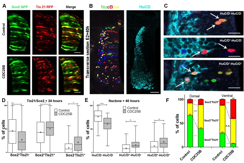 CDC25B gain-of-function promotes neurogenic divisions. ( A ) Representative cross-sections of HH17 chick spinal cord, 24 hr after electroporating Sox2::GFP and Tis21::RFP reporters, plus a control vector pccRE::lacZ, or a pccRE::CDC25B vector. Scale bars indicate 50 µm. ( B ) Representative cross-sections of HH21 chick spinal cord, 40 hr after electroporation of Nucbow and pCX CRE vectors, and immunostaining with HuC/D antibody. Scale bar indicates 50 µm. ( C ) Specific two cell clone examples, 40 hr after transfection of Nucbow and immunostaining with HuC/D antibody. Scale bars indicate 10 µm. ( D ) Box plots (5/95 percentile) comparing the percentage of progenitors expressing Sox2::GFP and Tis21::RFP 24 hr after co-electroporation with control or CDC25B vectors in the entire spinal cord. Data represent the means ± SEM of 3 different experiments with 5 control and 6 CDC25B gain-of-function embryos. ( E ) Box plots (5/95 percentile) comparing the percentage of two cell clones expressing Nucbow and pCX CRE vectors, 40 hr after co-electroporation with control or CDC25B vectors in the entire spinal cord. Data represent the means ± SEM of 3 different experiments with 387 clones in 12 control embryos, and 659 clones in 11 CDC25B gain-of-function embryos. ( F ) Bar plot representing the percentage of progenitors expressing Sox2::GFP and Tis21::RFP 24 hr after co-electroporation with control or CDC25B vectors in the dorsal and ventral spinal cord. Data represent the means ± SEM. Data represent three different experiments with 5 dorsal and 10 ventral neural tubes in the control, and 5 dorsal and six ventral neural tubes in the CDC25B gain-of-function.