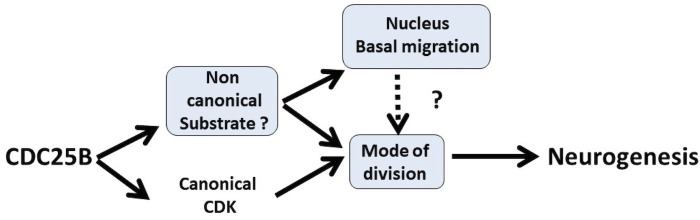 Schematic of CDC25B modes of action. CDC25B activity on an unknown substrate changes G1 nucleus basalward movement during Interkinetic Nuclear Migration (INM), and also acts on the mode of division leading to increased neurogenesis. It remains to be determined whether a link exists between these two activities. In addition to this new pathway, the data obtained in mice and using the Tis21/Sox2 assay suggest that the activity of CDC25B on CDK might account for part of its activity on the mode of division and neurogenesis.