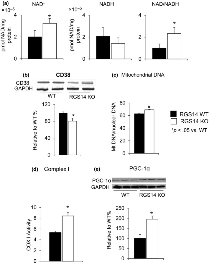 Increased NAD + /NADH ratio in RGS14 KO in skeletal muscle. (a) Both the absolute level of NAD + and NAD + /NADH ratio were elevated in the RGS14 KO mice ( n = 4/group). (b) CD38, a mechanism for changes in NAD + , was reduced in RGS14 KO skeletal muscle, further confirmed in the increased NAD + level ( n = 6–7/group). (c) Increase in mitochondrial DNA content in skeletal muscle was measured by mitochondrial DNA/nuclear DNA ratio ( n = 5/group). (d) Complex I activity in skeletal muscle was significantly increased in RGS14 KO animals ( n = 7/group). (e) PGC‐1α, a key regulator of mitochondrial biogenesis, was increased at the protein level in the BAT of the RGS14 KO mice ( n = 3/group). Results are expressed as mean ± SEM . Statistical significance was determined by Student's t test * p