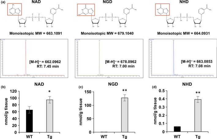 Overexpression of Nmnat3 significantly increased NGD and NHD levels in vivo. (a) Chemical structures and representative chromatogram of standard NAD , NGD , and NHD . 10 pmol standard solution was injected into the FT ‐ MS ( LTQ Orbitrap XL ). (b–d) Absolute quantification of NAD (b), NGD (c), and NHD (d) levels using skeletal muscle tissue samples prepared from WT and Nmnat3 Tg mice. Data are presented as mean ± SD ( n = 4 for each group)