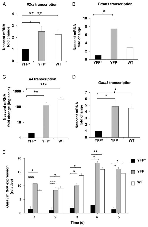Gene expression downstream of IL-2/p-Stat5 signaling is altered in the absence of HuR Transcriptional measurement using nascent RNA capture assay and RT-PCR analysis of Il2ra ( A ), Prdm1 ( B ), Il4 ( C ), and Gata3 ( D ) mRNAs in activated YFP + , YFP − , and WT CD4 + T cells. Data show relative amounts of nascent mRNAs on day 4 postactivation. ( E ) Steady-state Gata3 mRNA kinetics in activated YFP + , YFP − , and WT CD4 + T cells, as measured by RT-PCR. All data are from three or more independent experiments and represent mean + SEM. * p