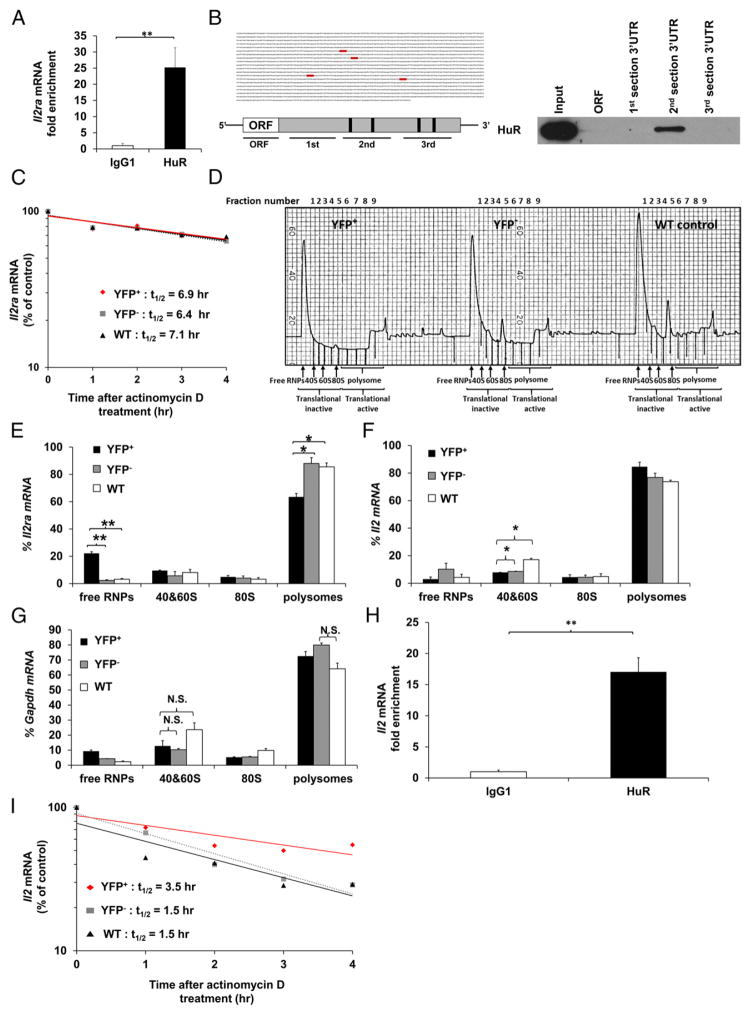 HuR physically interacts with the Il2ra 3′UTR mRNA and enhances its translational efficiency in activated CD4 + T cells (A) RIP using HuR or IgG1 Ab, followed by RT-PCR to determine physical HuR mRNA targets. Data are fold enrichment of Il2ra mRNA in anti-HuR samples compared with IgG1 controls. (B) Putative HuR targets, ARE elements (gray), present in the 3′UTR of Il2ra mRNA (left panels) and biotin pull-down shows association of HuR with different portions of Il2ra mRNA (right panel). Data show HuR interaction with the second section of Il2ra 3′UTR mRNA containing the first two putative HuR binding sites. (C) Il2ra mRNA stability assay in activated YFP + , YFP − , and WT CD4 + T cells on day 4 postactivation. Data represent the percentage of mRNA remaining over time after actinomycin D treatment. (D) Absorbance profile for RNA separated by velocity sedimentation through a sucrose gradient. RNA was extracted from each fraction. Polysomal gradient analysis of Il2ra (E), Il2 (F), and Gapdh (G) mRNAs in activated YFP + , YFP − , and WT CD4 + T cells. Data are the percentage of Il2ra , Il2 , and Gapdh mRNA distribution in 40S, 60S, 80S, and polysome fractions by RT-PCR. (H) RIP using HuR or IgG1 Ab, followed by RT-PCR to determine HuR mRNA targets. Data are fold enrichment of Il2 mRNA in anti-HuR samples compared with IgG1 controls. (I) Il2 mRNA stability assay in activated YFP + , YFP − , and WT CD4 + T cells on day 4 postactivation. Data are from three (A and H) or two (D, F, and G) independent experiments or are a representative of three (C and I) or two (B and D) independent experiments. Data are mean + SEM of three (A and H) or two (D, F, and G) independent experiments. * p