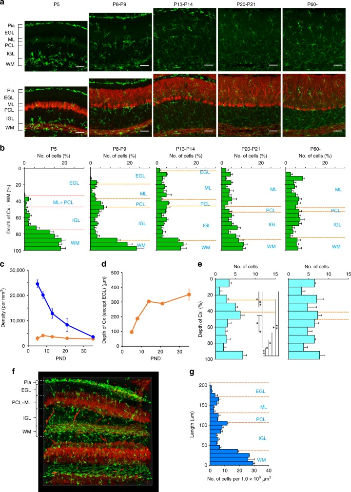 Postnatal changes in microglial distribution in the cerebellum. a Immunofluorescent labeling for Iba1 (green) and calbindin staining (red) in lobules IV–V in the vermis of mouse cerebellum at P5, P8, P14, P21, and P60. EGL external granule cell layer, ML molecular layer, PCL Purkinje cell layer, IGL internal granule cell layer, WM white matter. Scale bars, 50 μm. b Frequency distribution histograms for the relative depth of microglia at P5 ( n = 5 mice), P8–P9 ( n = 5), P13–P14 ( n = 4), P20–P21 ( n = 4), and P60 ( n = 6). The depth of microglia was normalized to the total length of the gray matter and the white matter where each microglial cell was sampled. c Postnatal changes in densities of microglia in the WM (blue) and the gray matter (orange). Numbers of mice at individual postnatal days are same as in ( b ). d Postnatal changes in the total length of the ML, PCL, IGL, and WM. e Frequency distribution histograms of the relative depth of microglia in the gray matter except the EGL (the ML, the PCL, and the IGL) at P8–P9 (left, n = 5 mice) and P13–P14 (right, n = 4). Note that microglia tend to aggregate beneath the part of the PCL (the area between orange broken lines) and the edge beside the WM at P8–P9; * p