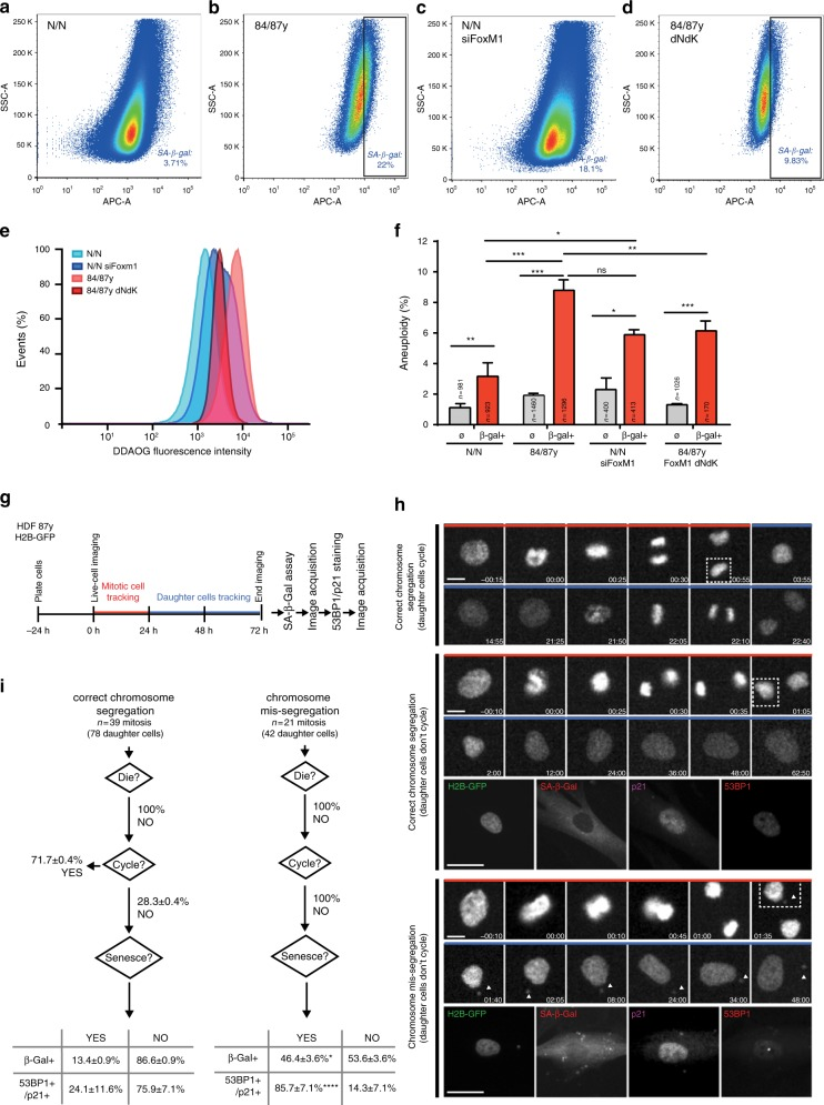 FoxM1 governs aneuploidization-driven cellular senescence in elderly cells. a – d FACS sorting of senescent cells from neonatal a , elderly b , FoxM1 siRNA-depleted neonatal c , and 84 y/87 y with FoxM1-dNdK d cell populations with high β-galactosidase activity. The gates were defined accordingly to the respective auto-fluorescent control. e Relative intensity levels of the fluorogenic substrate DDAOG in the sorted cell populations. f Aneuploidy index in FACS-sorted β-gal-positive fibroblast subpopulations (β-gal +) vs. unsorted populations (∅) as determined by FISH analysis for three chromosome pairs. g Experimental layout of live-cell/fixed-cell correlative microscopy analysis shown in h , i . Mitotic elderly fibroblasts expressing H2B–GFP and respective daughter cells were imaged for 72 h. SA-β-Gal assay and immunostaining for 53BP1/p21 were performed at the end of imaging. h Movie frames of representative phenotypes observed for elderly cells expressing H2B–GFP. Top panel, correct chromosome segregation, with cycling daughter cells (Supplementary Movie 9 ). Middle panel, correct chromosome segregation with non-cycling daughter cells staining negative for SA-β-Gal and 53BP1/p21 (Supplementary Movie 10 ). Bottom panel, chromosome mis-segregation leading to micronuclei formation (arrowheads), with non-cycling daughter cells staining positive for senescence markers (SA-β-Gal and 53BP1/p21) (Supplementary Movie 11 ). Dashed line indicates the tracked daughter cell. Time, hour:minute. Scale bar, 30 µm (movie frames) and 15 µm (immunostaining). i Single-cell analysis of daughter cell fate (cell death, cell cycle arrest, and cell senescence) from mitoses with apparent correct chromosome segregation or with mis-segregation (leading to micronuclei formation). Non-cycling daughter cells were stained for senescence markers (β-gal and 53BP1/p21). Values are mean ± SD of two independent experiments. Sample size ( n ) is indicated for f and i . NS, p > 0.05, * p ≤ 0.05, ** p ≤