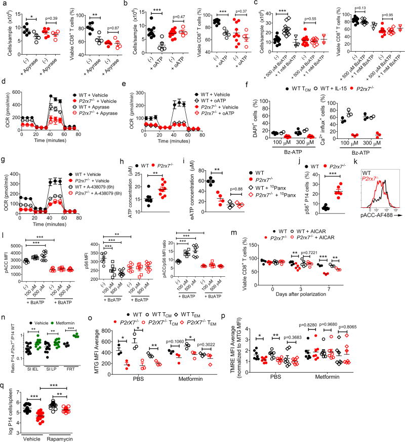 P2RX7-mediated eATP sensing is crucial for optimal CD8 + T cell immunometabolism via AMPK/mTOR pathway regulation (a–g) , WT and P2rx7 −/− P14 cells were in vitro activated and polarized with IL-15 (as in Fig. 3b ). Data from three independent experiments, samples pooled from n=6 mice per experiment; n=3–12 total samples. (a–c) show the numbers of P14 cells (left) and viability (right) in cultures supplemented with (a) the eATP hydrolytic enzyme Apyrase, (b) the inhibitor oATP or (c) the eATP analog BzATP, during cell culture. In (d,e,g) IL-15-polarized WT or P2rx7 −/− P14 cells were assayed for OCR 1h after addition of apyrase (d) or oATP (e) , or 6h after addition of A-438079 (g) . In (f) , IL-15-polarized cells or ex vivo WT P14 T CM (isolated 4w after LCMV infection) were incubated with either DAPI (left) or Indo-1 (right) and stimulated with the indicated concentrations of Bz-ATP during kinetic flow cytometric analysis. The percentage of cells showing DAPI uptake (left) or Ca 2+ influx (right) over 30m are shown. (f) Data from two independent experiments, samples pooled from n=5 mice total; n=2–5 samples. In (h) , in vitro -activated (72h) WT and P2rx7 −/− P14 cells were assayed for intracellular ATP concentrations. Data from three independent experiments, n=9 total. In (i), In vitro -activated, IL-15 polarized (24h post-polarization) WT or P2rx7 −/− P14 cells were assayed for extracellular ATP concentration, following culture without or with the Panx1 inhibitor 10 Panx. Data from two independent experiments, n=3–4 total samples (pooled from 6 mice). (j) , WT and P2rx7 −/− P14 cells were co-adoptively transferred and assayed 4w post LCMV infection (as in Fig. 1a ) and the ex vivo frequency of pS6-expressing cells determined by flow cytometry. Data are from two independent experiments (n=6 total). (k) Representative histograms showing expression of pACC in IL-15-polarized WT (black) and P2rx7 −/− (red) P14 cells (relative to Fig. 3l ; representative from three independent experiments, n=6 total). (l) In vitro activated and IL-15-polarized WT and P2rx7 −/− P14 cells were cultured for 6h with the indicated concentrations of BzATP then stained for pACC (left) and pS6 (center) and the pACC/pS6 ratio was determined (right). Data from three independent experiments, n=6–8 total. (m) In vitro -activated WT and P2rx7 −/− P14 cells were IL-15 polarized in presence or absence of the AMPK activator AICAR as in Fig. 3l . The percentage of viable cells at the indicated times following initiation of IL-15 +/− AICAR culture is indicated. Data are from three independent experiments (n=3–6 total; samples pooled from n=6 mice total). (n–p) WT and P2rx7 −/− P14 CD8 + T cells were mixed 1:1, co-adoptively transferred into B6.SJL mice that were subsequently infected with LCMV, and donor cells identified as in Fig. 1 . The animals were treated with Metformin or PBS control during the first week of LCMV infection, and the cells analyzed at day 30. Data are compiled from three independent experiments (n=11–12 total, n=4 for FRT samples). Panel (n) relates to Fig. 3m and shows P2rx7 −/− /WT P14 ratio in indicated non-lymphoid tissues (n=9 except female reproductive tract – FRT – where n=4). (o,p) shows measurements of mitochondrial mass (measured by MTG) (o) and mitochondrial membrane potential (measured by TMRE staining, normalized to MTG staining) (p) for indicated splenocyte subsets (n=3–6 total samples). (q) WT and P2rx7 −/− P14 CD8 + T cells were mixed 1:1, co-adoptively transferred into B6.SJL mice that were subsequently infected with LCMV, and donor cells identified as in Fig. 1 . The animals were treated with Rapamycin or PBS control between days 4–8 post-LCMV infection, and the cells analyzed at day 30. The numbers of WT or P2rx7 −/− P14 cells are shown (log-transformed values). Data are compiled from three independent experiments (n=15 total). (a–j,l–q) , mean ± SEM is shown; (a–c,h–j,m–p) Two-tailed Student's t-test; (l,q) One-way ANOVA with Tukey's post-test; *P≤0.05, **P≤0.01, ***P≤0.001.