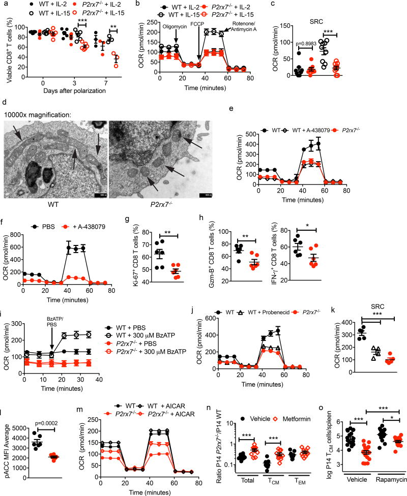 P2RX7 ablation leads to aberrant metabolism and depressed AMPK activation in CD8 + T cells (a–d) In vitro activated WT and P2rx7 −/− P14 were activated then polarized with IL-2 or IL-15 (cells pooled from 2 mice/experiment). (a) Cell viability during IL-2 or IL-15 cultures (p≥0.2 for all IL-2 polarized cells and IL-15 polarized at 24h). (b,c) OCR (b) and calculated SRC (c) for IL-2 or IL-15-polarized cells. (d) electron microscopy of mitochondria (arrows) in IL-15-polarized WT or P2rx7 −/− P14 (black bars =500nm). (e–k) mouse (e,i–k) or human (f–h) CD8 + T cells were stimulated in vitro in the presence of A-438079 (e–h) , BzATP (i) , Probenecid (j,k) , or vehicle controls. Mouse cells activated as in ( a ), human cells assayed 72h post-stimulation. OCR (e,f,i,j) and SRC (k) were measured and human cells assayed for proliferation (Ki67) (g) and Granzyme B/IFN-γ (h). (l) pACC in IL-15-polarized WT and P2rx7 −/− P14 (representative flow cytometric histograms and median average values (right). In (m) , cells were incubated (6h) with/without AICAR prior to OCR measurement. (n–o) Mice receiving co-transferred WT and P2rx7 −/− P14 were LCMV-infected primed and treated with metformin (1–7 dpi; n) or rapamycin (4–8 dpi; o) . P2rx7 −/− /WT ratios for splenic memory subsets (n) and P14 T CM numbers were determined ( o ). (a–o) Three independent experiments, n=3–6 ( a ), 8–9 ( b–c ), 6 ( d,g–h,l–m ), 4–5 ( e,i ), 4 ( f ), 5–6 ( j–k ), 10–11 ( n ), 12–17 ( o ) total. (a–c,e–o) Mean ± SEM; (a,c,g–h,l,n) , Two-tailed Student's t-test; (k,o) One-way ANOVA + Tukey post-test, *P≤0.05, **P≤0.01, ***P≤0.001.