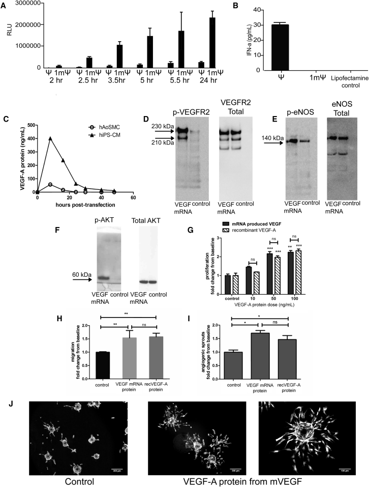 Optimized VEGF-A mRNA Produces Functional Protein In Vitro (A) Purified mRNA with 1-methylpseudouridine (m1Ψ) produces higher levels of luciferase protein when compared to first generation (pseudouridine [Ψ]) in 20,000 HeLa cells with 200 ng of mRNA and (B) less innate immune reactivity measured as interferon-alpha secretion in 500,000 primary human PBMC cells after transfection with 500 ng of mRNA. (C) Time course of VEGF-A protein production in human aortic smooth muscle cells (hAoSMC) and in human iPS-derived cardiomyocytes (hiPS-CM) after transfection with purified VEGF mRNA, showing that relevant primary cardiac cell types can be transfected. VEGF protein transcribed from VEGF mRNA is biologically active and activates VEGFR2 and downstream signaling pathways, shown by phosphorylation of (D) VEGF-Receptor 2 in human endothelial cells (HUVECs), (E) endothelial nitric oxide synthase in HUVECs, and (F) AKT in mouse cardiac fibroblasts cells in culture (representative western blot images shown; n = 2). (G) VEGF-A protein produced from VEGF mRNA and recombinant VEGF-A (recVEGF-A) induce similar responses and increase endothelial cell proliferation (n = 3). (H) Endothelial cell migration (n = 2; VEGF-A dose: 10 ng/mL) and (I) angiogenic sprouting in endothelial cells (n = 3; VEGF-A dose: 10 ng/mL) compared to controls. (J) Representative images on angiogenic sprouting in control cells and cells stimulated with VEGF-A protein produced from VEGF mRNA. Data are presented as mean ± SEM. Control is medium only without VEGF-A protein. Asterisks represent: *p