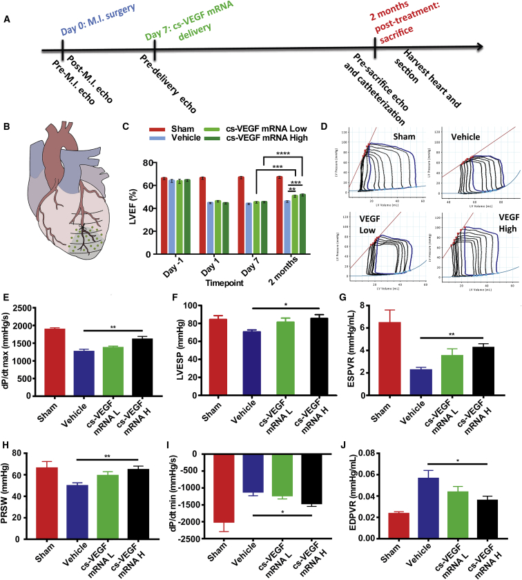 Effects of Intracardiac Purified cs- VEGF mRNA or Citrate-Saline Vehicle Injection 7 Days after Myocardial Infarction on Cardiac Function (A) Timeline of intracardiac injections of citrate-saline (vehicle), 1 mg cs- VEGF mRNA L, and 10 mg cs- VEGF mRNA H. (B) Cartoon representation of injection sites in green dots. (C) Left ventricular ejection fraction (LVEF) as measured by echocardiography before and after MI (day 0), 1 week after MI before injections (day 7), and 2 months after injections. Data are means ± SEM (n ≤ 5). *p