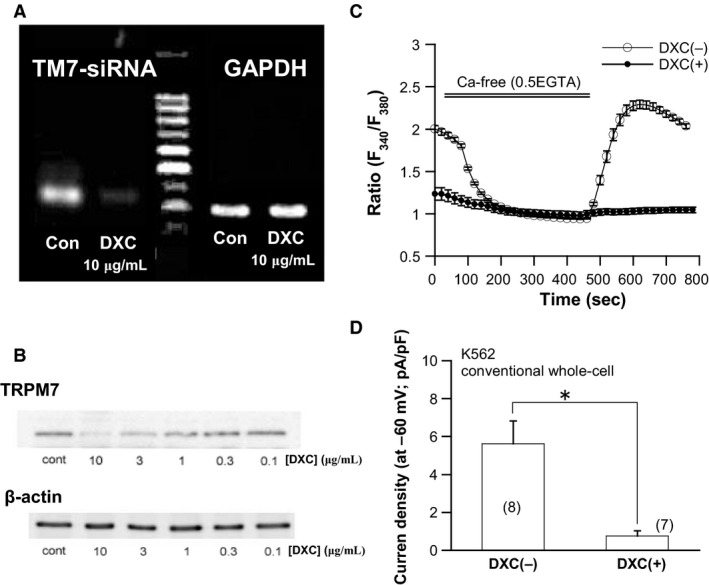 si <t>RNA</t> knockdown of TRPM 7 channel abrogates Ca 2+ influx and I spont in <t>K562</t> cells. (A) detection of TRPM 7 transcripts (398 bp) by conventional RT ‐ PCR . Ten μ mol/L doxycycline ( DXC ) almost completely eliminated TRPM 7 mRNA expression. (B) immunoblots of K562 protein extracts by TRPM 7 antibody. Doxycycline concentration dependently (0.1–10 μ mol/L) reduced TRPM 7 protein expression. The results shown in A and B are representative of three independent experiments. (C) fura‐2 Ca 2+ fluorescence imaging from untreated ([ DXC (−)] and 10 μ mol/L doxycycline‐treated [ DXC (+)] K562 cells stably expressing tet ‐inducible TRPM 7‐specific si RNA (si TRPM 7). n = 36 and 26, respectively. (D) density of I spont recorded by conventional whole‐cell recording from untreated ([ DXC (−)] and 10 μ mol/L doxycycline‐treated [ DXC (+)] K562 cells stably expressing si TRPM 7. To facilitate the induction of TRPM 7 currents, ATP and Mg 2+ were absent in the patch pipette. The numbers of cells tested are shown in parentheses.