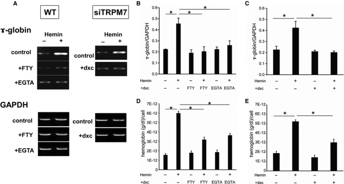 Erythroid differentiation of K562 cell by hemin is regulated by Ca 2+ influx mediated by TRPM 7. (A) representative RT ‐ PCR experiments showing hemin‐induced γ ‐globin synthesis in K562 cells untreated (control) and treated with 10 μ mol/L FTY 720 (+ FTY ), 1 mmol/L EGTA (+ EGTA ) or 10 μ mol/L doxycycline (+dxc). In all conditions, K562 cells stably expressing tet ‐inducible TRPM 7‐si RNA (si TRPM 7) were used. The expression of γ ‐globin mRNA was greatly decreased by these procedues, while that of GAPDH stayed almost constant. (B and C) statistical evaluation of pooled data from experiments as shown in A: 10 μ mol/L FTY 720 and 1 mmol/L EGTA (B): si TRPM 7 (C). (D and E) effects of 10 μ mol/L FTY 720 ( FTY ), 1 mmol/L EGTA ( EGTA ) or 10 μ mol/L doxycycline (+dxc) on hemoglobin synthesis at rest or 3 days after hemin treatment in K562‐cells stably expressing si TRPM 7. n = 5 for each condition. * P