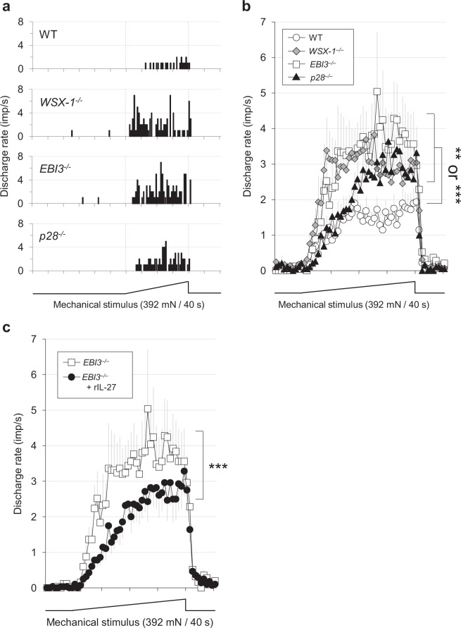 Facilitated mechanical sensitivity of C-fibre nociceptors in mice lacking IL-27/WSX-1 signalling. ( a ) Sample recordings of peri-stimulus time histogram. Abscissa: time in seconds. Ordinate: discharge rate of C-nociceptors. Lowest trace: force output of the mechanical stimulus. ( b ) Summarised mechanical response patterns. The response magnitude was significantly greater in WSX-1 −/− , EBI3 −/− , and p28 −/− mice compared with WT. ( a , b ) WT (n = 28), WSX-1 −/− (n = 29), EBI3 −/− (n = 25), p28 −/− (n = 19). P
