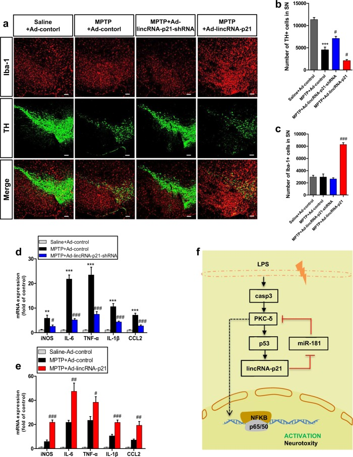 LincRNA-p21-mediated inflammation contributes to the death of TH + neurons in the MPTP model of PD. Ad-lincRNA-p21, Ad-lincRNA-p21-shRNA, or Ad-control were stereotaxically delivered into the right substantia nigra region of C57BL/6 mice as described in methods. One week later, mice received 4 i.p. injections of MPTP-HCl (18 mg/kg free base) at 2 h intervals or equivalent saline injections to generate acute MPTP mouse model of PD. a Representative immunofluorescence double staining for Iba1 (microglia, red) and TH (green) at the non-injection site in the substantia nigra region seven days after the last MPTP injection. Scale bar = 100 μm. b , c Stereological counting of TH-positive cells ( b ) and Iba-1-positive cells ( c ) in the entire substantia nigra are shown. n = 3 mice per group. *** P