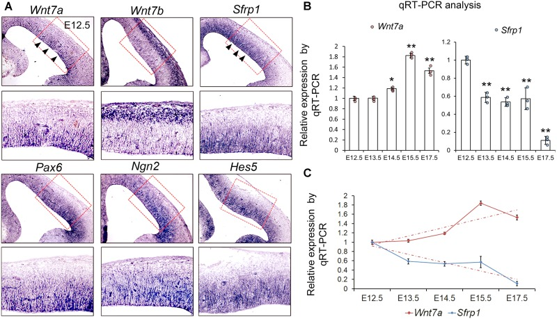 Wnt7a and Sfrp1 are co-expressed in neural progenitors and show opposite expression trends. (A) In coronal sections of mouse E12.5 cerebral cortices, Wnt7a , Sfrp1 , Pax6 , Ngn2 , and Hes5 were expressed in the ventricular zone (arrowheads). Conversely, Wnt7b was expressed in newborn neurons. Red boxes show high power views. (B) qRT-PCR analysis of Wnt7a and Sfrp1 expression levels at different embryonic stages (E12.5, E13.5, E14.5, E15.5, and E17.5). All comparisons were made with that of values at E12.5. Values of histogram represent mean ± SEM, and each dot represents a data point in each biology repeat ( n = 3, ∗ P