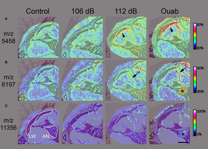 High resolution imaging mass spectrometry in mouse cochlear sections. Two-dimensional ion density map overlay of mass-to-charge ratios 5458 (A) , 6197 (B) , and 11356 (C) in the middle turn of control, 106 or 112 dB noise exposed, and ouabain exposed cochlea. The protein signal at m/z 5458 (A) is present in the lateral wall (LW, arrowhead) of the 112 dB ear with even higher density observed in the LW (arrowhead) of the ouabain exposed cochlea, while showing lower signal presence in the control and 106 dB middle turns. Similarly, the signal at m/z 6197 (B) displays increasing density corresponding to the severity of the cochlear insult, with localization to auditory nerve (asterisk) and Reisner's membrane (arrow). Interestingly, the m/z 11356 (C) demonstrates localization of protein signal in only the ouabain exposed ear. Images were generated at 10–15 μm spatial resolution. Scale bar: 200 μm.