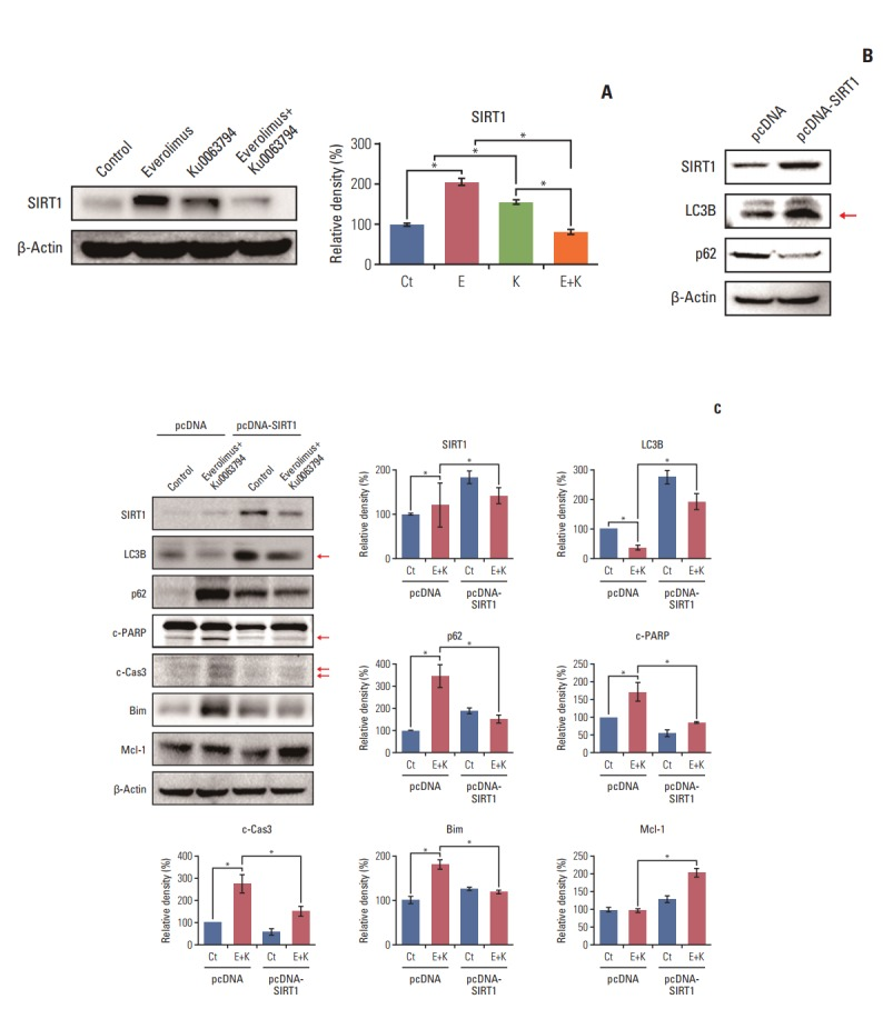 Determination of the role of SIRT-1 during autophagy of HepG2 cells. (A) Western blot analyses showing the effects of everolimus and Ku0063794, either individually or in combination, on the expression of SIRT1 (left). Relative densities of these markers in each group (right). Unlike the monotherapies, combination therapy significantly inhibited the expression of SIRT1. (B) Identification of successful transfection of pcDNA-SIRT1 into HepG2 cells as detected by Western blot analysis. Successful integration was identified by the higher expression of SIRT1. Transfection with pcDNA-SIRT1 promoted autophagy, as demonstrated by higher expression of LC3B and lower expression of p62. (C) SIRT1 overexpression assay to evaluate whether combination therapy increases HCC cell apoptosis by decreasing SIRT1 (left). Relative densities of these markers in each group (right). Overexpression of SIRT1 abrogated both autophagy-inhibiting and pro-apoptotic effects of combination therapy, which was manifested by higher expression of LC3B and lower expression of p62, and lower expression of pro-apoptotic markers (c-PARP, c-Cas3, and Bim) and higher expression of Mcl-1. These data suggest that combination therapy promotes apoptosis of HepG2 cells by downregulating SIRT1 expression. The Band Analysis tools of ImageLab software (Bio-Rad) were used to determine the density of the bands in all blots. β-Actin was used as normalization control. Values represent mean±standard deviation of three independent experiments. *p