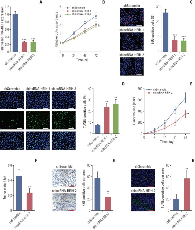 Knockdown of long noncoding RNA HEIH (lncRNA-HEIH) inhibits colorectal cancer tumorigenesis. (A) The expression of lncRNA-HEIH in lncRNA-HEIH stably knocked-down and control LoVo cells was detected by quantitative real-time polymerase chain reaction and normalized to glyceraldehyde 3-phosphate dehydrogenase. (B) Cell proliferation rate of lncRNA-HEIH stably knocked-down and control LoVo cells were detected by the Cell Counting Kit-8 assays. (C) Proliferative cells of lncRNA-HEIH stably knocked-down and control LoVo were labeled with ethynyl deoxyuridine (EdU). Red color indicts EdU-positive cells. Scale bars=100 μm. (D) The level of apoptosis in lncRNA-HEIH stably knocked-down and control LoVo cells was detected by TdT-mediated dUTP nick end labeling (TUNEL) staining. Blue color indicts TUNEL-positive cells. Scale bars=100 μm. For A-D, results are shown as mean±standard deviation (SD) from three independent experiments. *p
