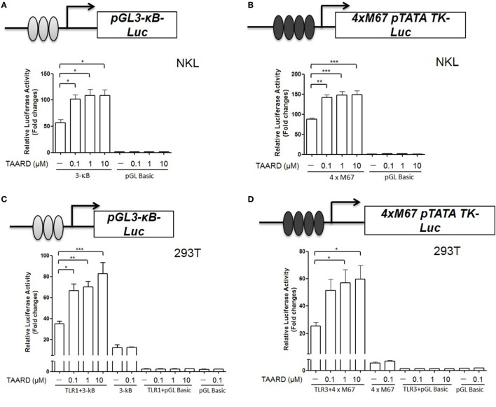 TAARD increases the luciferase reporter activities of NF-κB and STAT3 via TLR1 and TLR3, respectively. (A) NKL cells were electroporated with either pGL3-κB-Luc (1 µg) or pGL3-Basic (1 µg) and a pRL-TK renilla-luciferase control plasmid (50 ng). After electroporation, cells were immediately transferred into fresh medium and cultured for an additional 6 h. Then, cells were treated with different concentrations of TAARD. (B) NKL cells were electroporated as described in (A) but with 4×M67 pTATA TK-Luc plasmid (1 µg). Cells were treated and measured as described in (A) . (C) 293T cells were co-transfected with pGL3-κB-luc (1 µg) or pGL3-Basic (1 µg) and pRL-TK renilla-luciferase control plasmids (5 ng) in the presence or absence of a TLR1 (0.5 µg) expression plasmid by Lipofectamine 2000. Twenty-four hours later, cells were treated with different concentrations (0.1, 1, and 10 µM) of TAARD for another 24 h with fresh medium. (D) 293T cells were co-transfected with 4×M67 pTATA TK-Luc (1 µg) or pGL Basic plasmid (1 µg) and pRL-TK renilla-luciferase control plasmids (5 ng) in the presence or absence of a TLR3 (0.5 µg) expression plasmid by Lipofectamine 2000. Twenty-four hours later, cells were treated with different concentrations (0.1, 1, and 10 µM) of TAARD for another 24 h with fresh medium. The ratio of firefly to renilla luciferase activities was used to show the relative luciferase activity, which corresponded to NF-κB or STAT activation. Data shown represent one of three independent experiments with similar results. * p