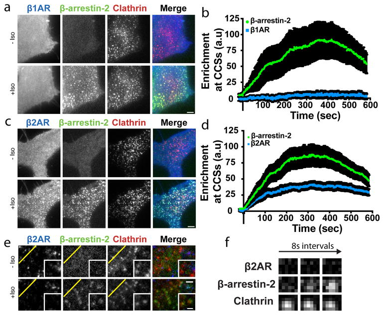 Discrete mode of GPCR-activated cellular β-arrestin trafficking is broadly conserved ( a–d ) Live cell TIRF microscopy images showing ( a) FLAG–β1AR (blue) or (c) FLAG–β2AR (blue), β-arrestin-2–GFP (green) and clathrin-light-chain–DsRed (red) before and after 10 μM isoproterenol treatment. Average enrichment at CCSs after 10 μM isoproterenol treatment for ( b) FLAG–β1AR ( d ) FLAG–β2AR (n=14 and 15 cells, respectively, from 3 independent experiments, data shown as mean ± s.e.m.). ( e ) Live cell TIRF microscopy images of HEK 293 cells co-expressing super ecliptic pHluorin–β2AR (blue), β-arrestin-2–mApple (green), and clathrin-light-chain–TagBFP (red) before and after 10 μM isoproterenol treatment. ( f ) Timelapse of individual pre-existing CCSs from panel e. Scale bars, 5 μm. ( a, c, e, f) show representative images from 3 independent experiments.