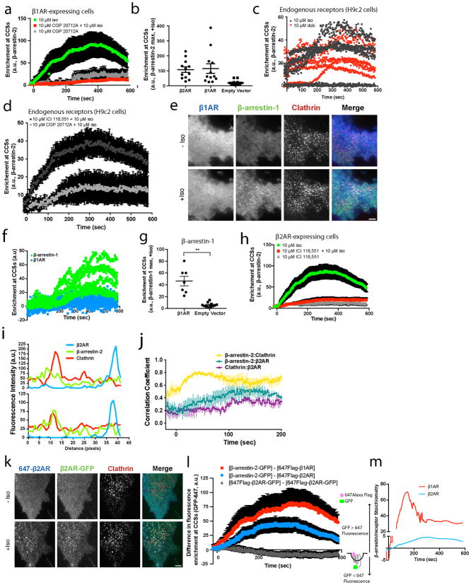 Verification of GPCR-specificity of the discrete β-arrestin trafficking mechanism, demonstration that this mechanism produces super-stoichiometric β-arrestin accumulation in CCSs and that its activation does not require the GPCR tail ( a ) Average β-arrestin-2–GFP enrichment at CCSs in cells expressing FLAG-β1AR after the following treatments: 10 μM isoproterenol (green, n=14 cells), 15 minute pretreatment with 10 μM CGP 20712A and 10 μM isoproterenol treatment (red, n=12 cells), 10 μM CGP 20712A alone (gray, n=12 cells). Data shown for the 10 μM isoproterenol condition are replotted from Figure 1b . (b) Maximum β-arrestin-2–GFP enrichment at CCSs in HEK 293 cells transfected with the indicated receptor or empty vector and treated with 10 μM isoproterenol. (c) β-arrestin-2–GFP enrichment at CCSs in H9c2 cells without GPCR overexpression and treated with 10 μM isoproterenol or 10 μM dobutamine (n=5 or 4 cells, respectively, from 2 independent experiments). (d) β-arrestin-2–GFP enrichment at CCSs in H9c2 cells without GPCR overexpression and treated as indicated (n=12 cells). ( e ) Live cell TIRF microscopy images (representative of n=3 independent experiments) showing FLAG–β1AR (blue), β-arrestin-1–mVenus (green) and clathrin-light-chain–DsRed (red) before and after 10 μM isoproterenol treatment. ( f ) Enrichment into CCSs (n=7 cells from 3 independent experiments). (g) Maximum β-arrestin-1–mVenus enrichment at CCSs in HEK 293 cells transfected with FLAG-β1AR or empty vector and treated with 10 μM isoproterenol (n=7 and 11 cells from 3 independent experiments, p=0.0023 using an unpaired t test with Welch's correction). (h) Average β-arrestin-2–GFP enrichment at CCSs in cells expressing FLAG-β2AR after the following treatments: 10 μM isoproterenol (green, n=15 cells), 15 minute pretreatment with 10 μM ICI 118,551 and then 10 μM isoproterenol treatment (red, n=14 cells), 10 μM μM ICI 118,551 (gray, n=12). Data shown for the 10 μM isoproterenol condition are replotted f