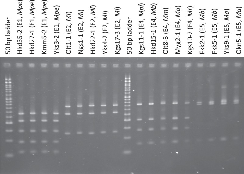 <t>PCR–RFLP</t> profiles of Metarhizium spp. (amplicons of 5′-EF1-α digested with <t>Mlu</t> CI). The size marker consists of 17 fragments between 50 and 1200 bp (every 50 bp up to 500 bp, every 100 bp from 500 bp to 1000 bp, 1200 bp, and 1500 bp). The characters in parentheses after the strain name indicate the genotypes of PCR–RFLP. The names of Metarhizium spp. are abbreviated as follows: Ma, M. anisopliae; Mb, M. brunneum; Mpe, M. pemphigi; Mg, M. guizhouense; Ml, M. lepidiotae; Mm, M. majus; Mpi, M. pingshaense; Mr, M. robertsii .