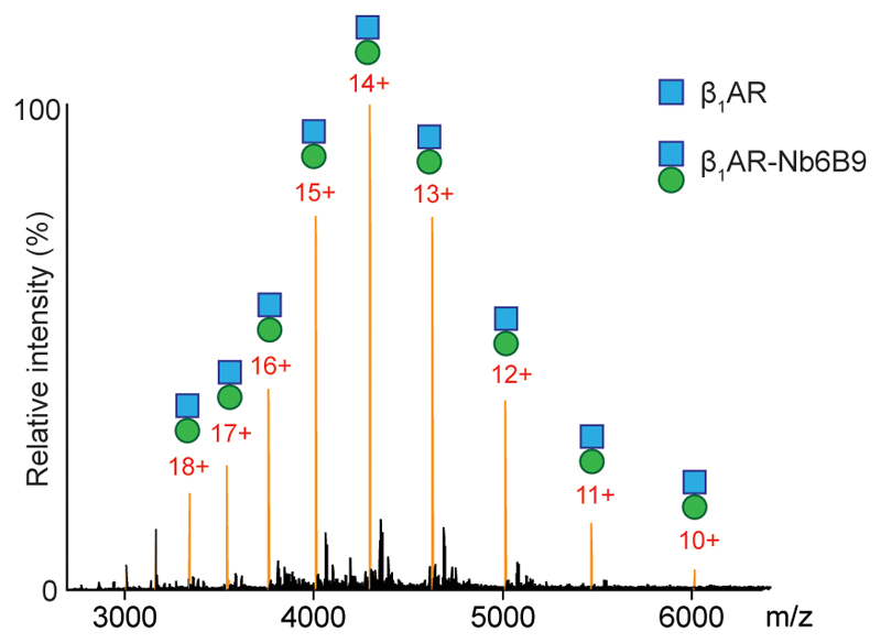 Detection of nanobody coupling to β 1 AR. Mass spectral peaks assigned to the nanobody (Nb6B9) binding to β 1 AR to form a β 1 AR·Nb6B9 complex at an equimolar ratio are highlighted (orange) and demonstrate <t>complete</t> complex formation implying a higher affinity of the nanobody than mini-G s for β 1 AR (N=3 independent experiments).
