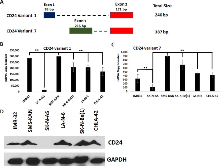 Analysis of CD24 expression in human neuroblastoma cells. A) Schematic of the alignment of CD24 splice variants 1 and 7. B C) Absolute quantification of CD24 expression by quantitative real-time PCR of total RNA acquired from neuroblastoma cells, measuring CD24 splice variants 1 (B) and 7 (C). Copy number values were normalized to the corresponding GAPDH values to determine the relative copy number. ** p > 0.05, Student's t-test. D) Western blot analysis of CD24 expression in the total cell lysates of neuroblastoma cells. GAPDH was used as a loading control. All results are representative of the combined data of experiments performed in triplicate, with error bars representing standard deviation.