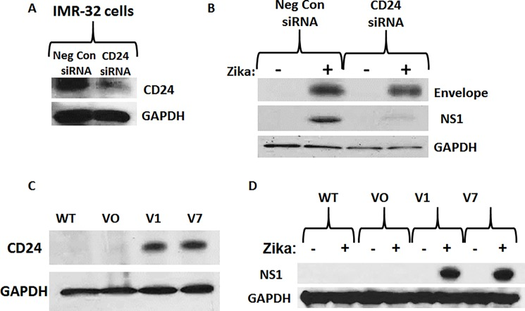 "Analysis of the role of CD24 in Zika-virus infected neuroblastoma cells. A) Western blot analysis of siRNA-mediated knock-down of CD24 expression in IMR-32 cells. Samples include Negative Control siRNA and CD24 siRNA. B) Western blot analysis of the expression of Envelope protein and NS1 (Non-Structural 1) protein in IMR-32 cells after siRNA-mediated knock-down of CD24 expression, 96 hours after Zika infection (MOI = 10). Samples include control cells treated with non-infected conditioned media and infected IMR-32 cells transfected with either Negative Control siRNA or CD24 siRNA. C) Western blot analysis of CD24 expression in the human neuroblastoma cell line SK-N-AS, comparing wild type (WT) to stably selected ""Vector Only"" (VO), CD24 variant 1 (V1), and CD24 variant 7 (V7). D) Western blot analysis of Zika NS1 protein expression 96 hours after Zika infection in CD24-stably expressing SK-N-AS cells, comparing wild type (WT) to stably selected Vector Only (VO), CD24 variant 1 (V1), and CD24 variant 7 (V7). GAPDH was used as a load control for all experiments. All results are representative of the combined data of experiments performed in triplicate."