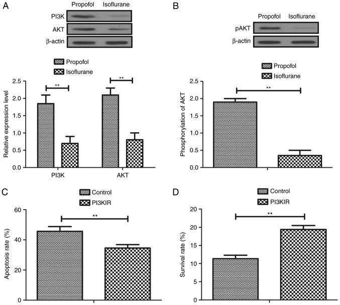 Isoflurane inhibits aggressiveness of hepatic carcinoma cells via the PI3K/AKT signaling pathway. (A) Expression levels of PI3K and AKT in isoflurane-treated hepatic carcinoma cells. (B) Phosphorylation levels of AKT in isoflurane-treated hepatic carcinoma cells. (C) Effects of PI3KIR on isoflurane-promoted apoptosis of hepatic carcinoma cells. Control, non-treated cells. (D) Effects of PI3KIR on survival of hepatic carcinoma cells. Control, non-treated cells. Data are presented as the mean ± standard error of the mean of three independent experiments. **P