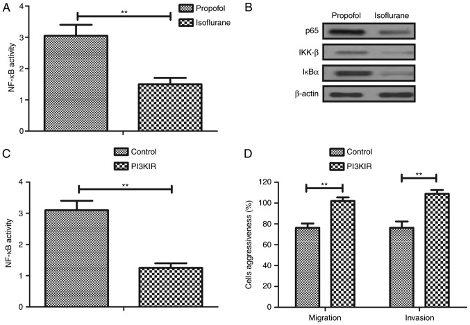 Isoflurane regulates aggressiveness via the PI3K/protein kinase B-mediated NF-κB signaling pathway. (A) NF-κB activity in isoflurane-pretreated hepatic carcinoma cells. (B) Expression levels of p65, IKK-β and IκBα in isoflurane-pretreated hepatic carcinoma cells. (C) Effects of PI3KIR on NF-κB activity in hepatic carcinoma cells. (D) Effects of PI3KIR on migration and invasion of hepatic carcinoma cells. Control, non-treated cells. Data are presented as the mean ± standard error of the mean of three independent experiments. **P