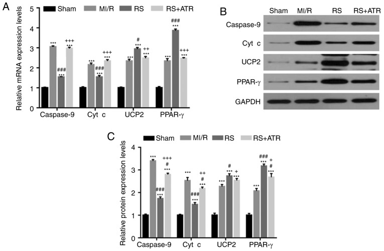RS downregulates <t>caspase-9</t> and cyt c expression, and upregulates UCP2 and PPAR-γ expression. A total of 48 rabbits were randomly divided into four groups, including the sham group, MI/R group, RS group and RS + ATR group. mRNA and protein expression levels of caspase-9, cyt c, UCP2 and PPAR-γ were detected by (A) reverse transcription-quantitative polymerase chain reaction and (B) western blotting. (C) The results of western blotting were quantitatively analyzed. ***P