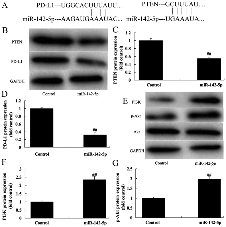 Overexpression of miR-142-5p in CD4 + T cells in NSCLC cell line A549 via the PTEN pathway. (A) PD-L1 and PTEN are the potential target genes of miR-142-5p. PD-L1 and PTEN protein expression using (B) western blotting and (C and D) statistical analysis. PI3K and p-Akt protein expression using (E) western blotting assay and (F and G) statistical analysis. Control, control negative group; miR-142-5p, overexpression of the miR-142-5p group. ## P