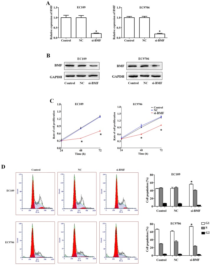 BMF inhibits ESCC cell proliferation. (A) A qRT-PCR assay was conducted to assess the mRNA expression of BMF. (B) Western blot analysis was performed to assess the protein expression of BMF. (C) A CCK-8 assay was used to reveal the proliferation rate in ESCC cells with si-BMF transfection. (D) The cell cycle was examined in ESCC cell lines. *P